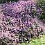 Верес звичайний трава (Вереск обыкновенный трава), 50г, фото 2