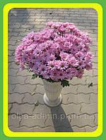Хризантема ранняя сорт Бакарди розовая ( укорененные черенки)