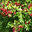 Глід Криваво-Червоний Плоди (Боярышник кроваво-красный), 50г, фото 2