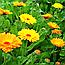 Календула або Нагідки Цвіт (Календула Цветы), 50г, фото 2