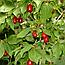 Кизил Звичайний Ягоди (Кизил обыкновенный), 200г, фото 2