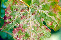 Милдью на винограде - методы профилактики и лечения