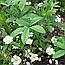 Перстач Білий Корінь або Лапчатка Біла, П'ятипал (Лапчатка белая), 100г, фото 2