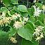 Липа Серцелиста Цвіт (Липа сердцелистная), 50г, фото 2