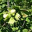 Лещина Обыкновенная Кора (Ліщина звичайна), 50г, фото 2