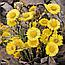 Мати-й-мачуха або Підбіл Звичайний (Мать-и-мачеха), 50г, фото 2