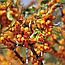 Обліпиха Крушиноподібна Ягоди (Облепиха крушиновидная), 100г, фото 2