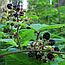 Ожина сиза (Ежевика Сизая) Ягоди,  100г, фото 2