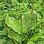 Подорожник великий лист (Подорожник Большой листья), 50г, фото 2