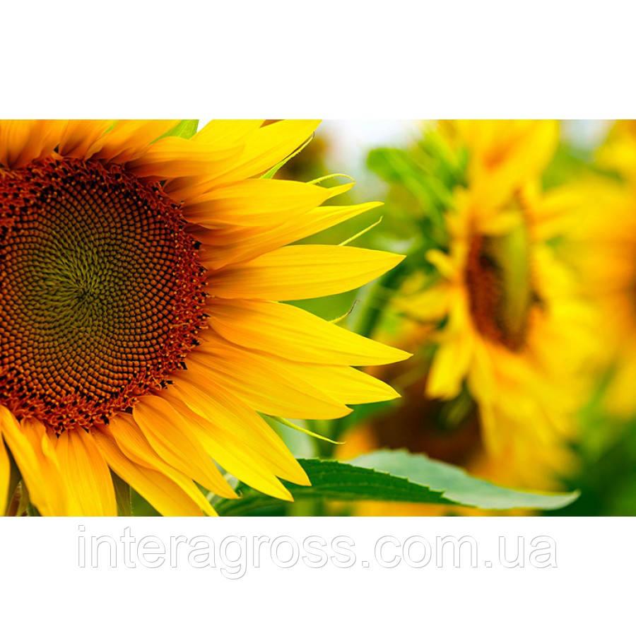 Купить Насіння соняшника НС Х 2652