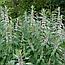 Пустирник трава або Кропива Собача (Пустырник пятилопастный), 50г, фото 2