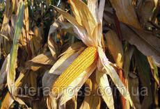 Купить Кукурудза Зум 0307
