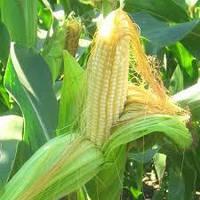 Кукуруза Оникс ВНИС