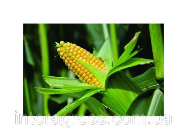 Купить Насіння кукурудзи СИ Ірідіум