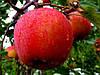 Саженцы яблони СЕКАИ ШИ (двухлетние) позднего срока созревания
