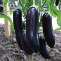 Семена фиолетового баклажана