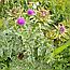 Розторопша Плямиста Насіння (Расторопша Пятнистая), 100г, фото 2