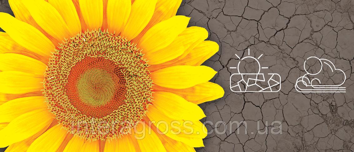 Купить Насіння соняшника СИ Розета КЛП