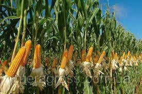 Купить Насіння кукурудзи Р8567