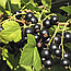 Смородина Чорна Ягоди (Смородина Черная), 100г, фото 2