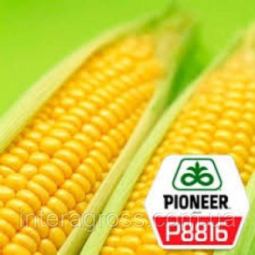 Купить Насіння кукурудзи П8816