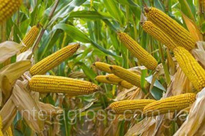 Купить Насіння кукурудзи П9903