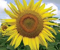 Семена подсолнечника  ЛГ5631