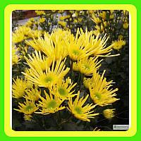 Хризантема ранняя сорт Анесси ( укорененные черенки)