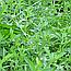 Гірчак Пташиний або Спориш Звичайний (Горец птичий), 100г, фото 2