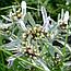 Сухоцвіт Багнова (Сухоцвіт Топящая або Болотна), 50г, фото 2