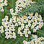 Деревій Звичайний (Тысячелистник обыкновенный, или Порезная трава), 100г, фото 2