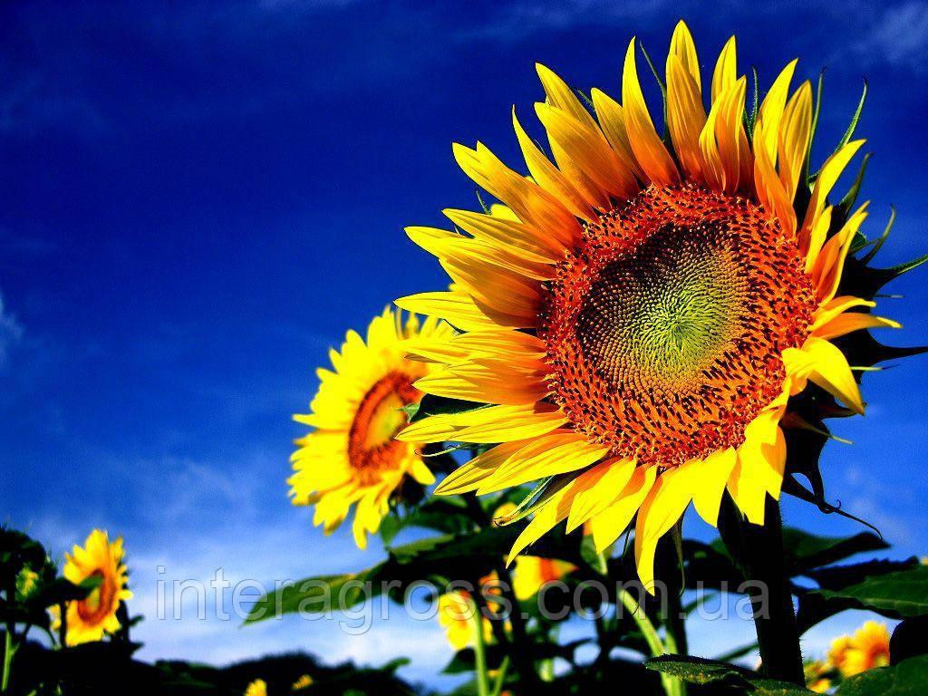 Купить Насіння соняшника П64ЛЛ125