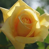 Роза Ландора. (в).