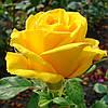 Роза Керио. Чайно-гибридная роза.