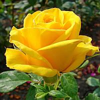Роза Керио. Чайно-гибридная роза.  , фото 1