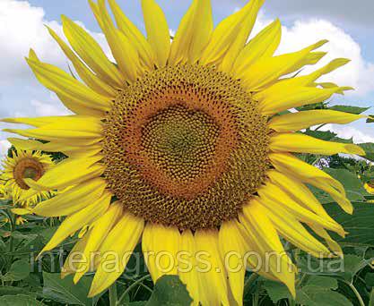 Купить Семена подсолнечника Мас 87 ИР