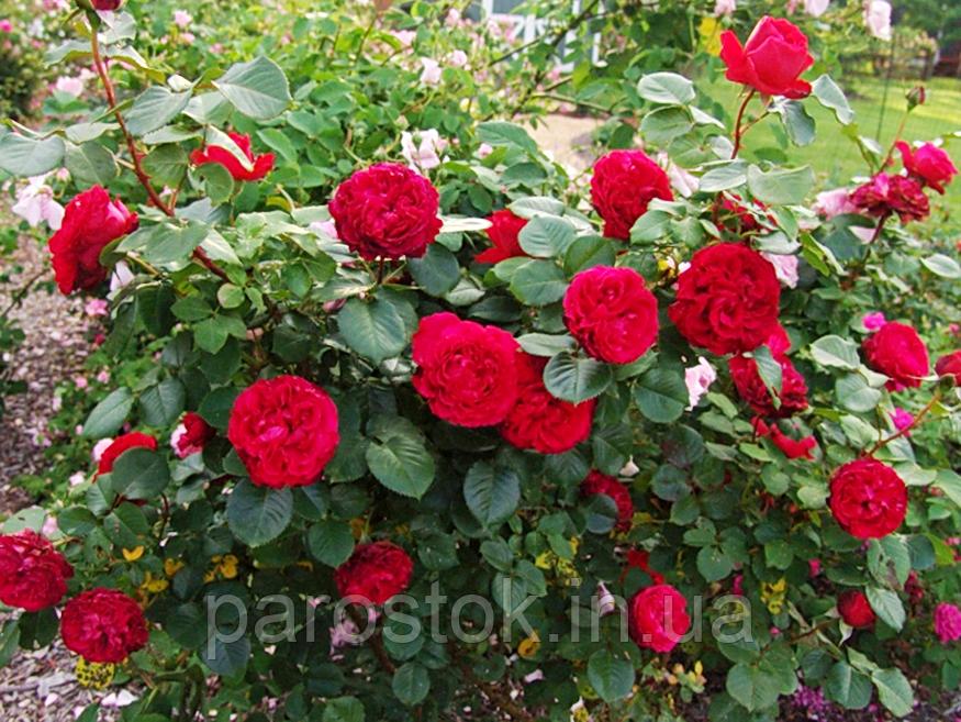 Роза Травиата. Чайно гибридная роза