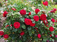 Роза Травиата. (вв). Ч/г роза.