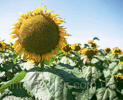 Купить Семена подсолнечника Мас 83.ОЛ