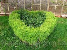 Кохия Чайлдса вечнозеленая 0,5 г (СУ)