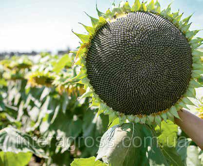Купить Семена подсолнечника Мас 93 СР