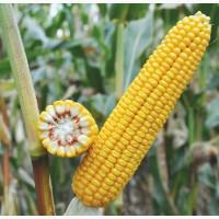 Купить Насіння кукурудзи  Гран 220