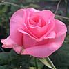 Роза Карина. (с). Чайно-гибридная роза.