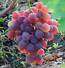Саженцы Винограда Аарон - раннего срока, крупноплодный, урожайный, фото 2