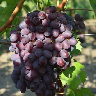 Саженцы Винограда Айгезард - позднего срока, урожайный, морозостойкий