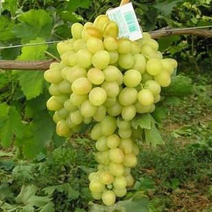 Саженцы Винограда Аркадия - раннего срока, крупноплодный, зимостойкий