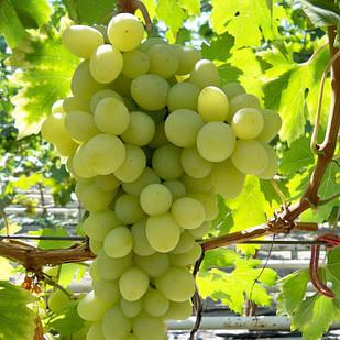 Саженцы Винограда Благовест - раннего срока, урожайный, крупноплодный