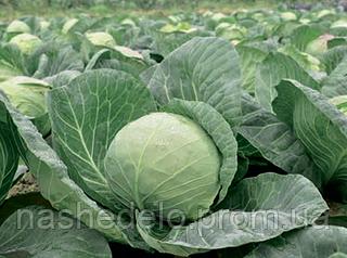 Семена капусты б/к Лема F1 1000 семян Rijk Zwaan