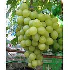 Вегетуючі саджанці столового винограду Вальок - дуже раннього терміну, урожайний, зимостійкий, фото 2