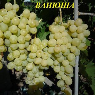 Саженцы Винограда Ванюша - ранне-среднего срока, крупноплодный, зимостойкий